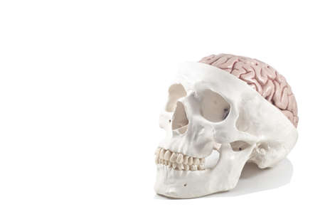 Human skull with brain model,isolated Stock Photo - 10789299