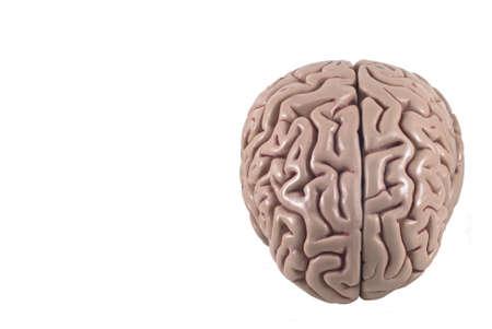 human brain model, isolated Stock Photo - 10789307