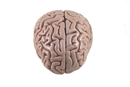 human brain model, isolated Stock Photo - 10789313