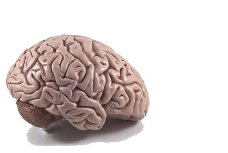 human brain model, isolated Stock Photo - 10789336