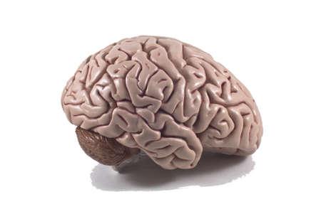 human brain model, isolated Stock Photo