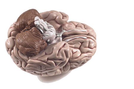 human brain model, isolated photo