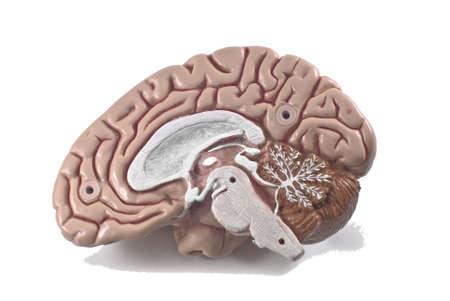 human brain model, isolated Stock Photo - 10789355