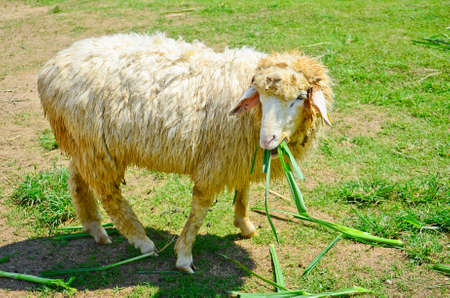 ratchaburi: Sheep eating on a pasture Stock Photo