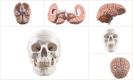 Collection of brain and skull isolated photo