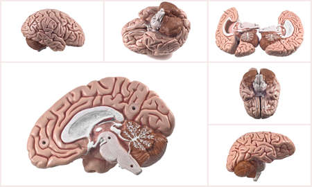 Collection of brain and skull isolated Stock Photo - 23925673