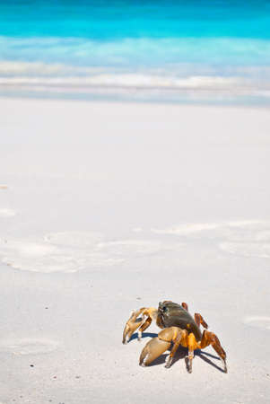 red crab(poo kai) on beach ,Tachai island, Similan island group, Phang nga, Thailand photo