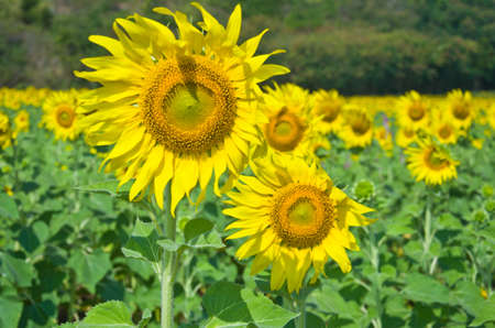 Beautiful Sunflower field in Lopburi, Thailand photo