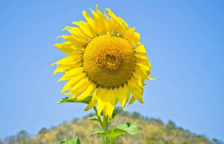 Beautiful Sunflower field in Lopburi, Thailand photo