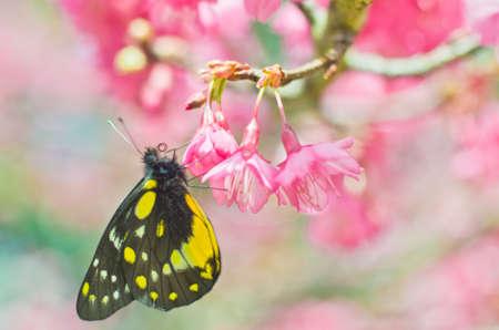 sakura arbol: Mariposa en �rbol de sakura Foto de archivo