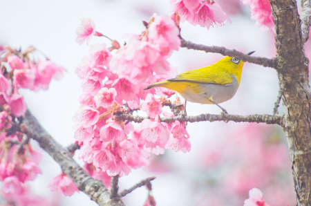 white-eye Bird on Cherry Blossom and sakura photo