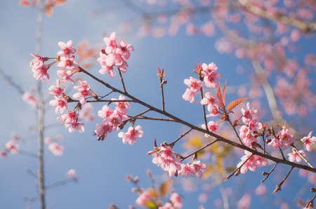 Himalayan Cherry (Prunus cerasoides) blooming at Doi Angkhang, Thailand. photo