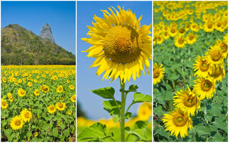 collection of sunflowers photo