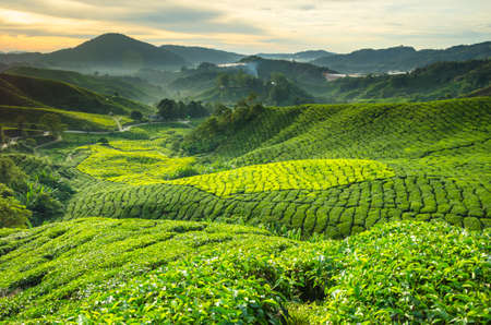 Tea plantation Cameron highlands, Malaysia 免版税图像