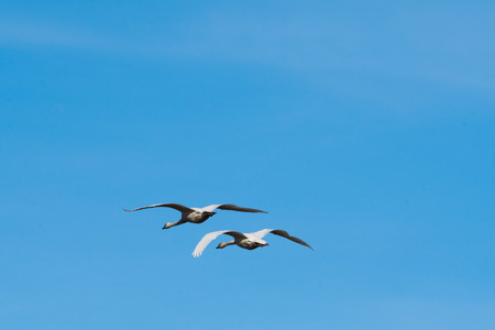 Trumpeter Swans in Flight against a clear blue sky in Washingtons Skagit Valley Banco de Imagens