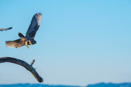 Peregrin Falcon launching ftom branch over Jetty Island Beach Foto de archivo - 98772489