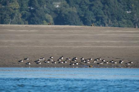 Birds napping on Jetty Island Beach, Everett, WA Foto de archivo - 105064118