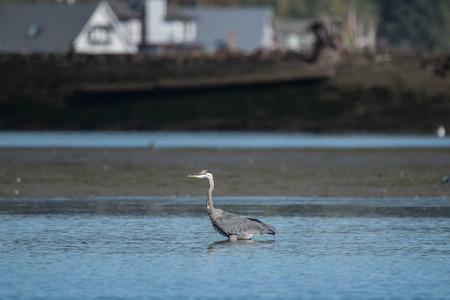 Great Blue Herron in Water near Jetty Island, Everetty, WA Foto de archivo - 98772494