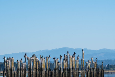 These cormorants can always be found nesting and roosting on these pilings in Steamboat Slough, Everett, WA Stock Photo