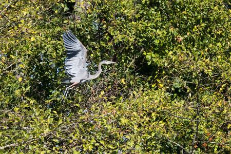 Great Blue Herron in Flight over Jetty Island, Everetty, WA Foto de archivo - 98772523