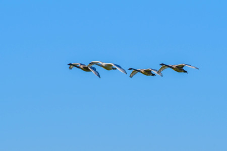 Trumpeter Swans in Flight against a clear blue sky in Washington's Skagit Valley
