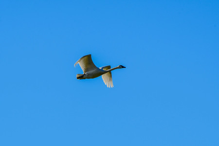 Trumpeter Swan in Flight against a clear blue sky in Washingtons Skagit Valley
