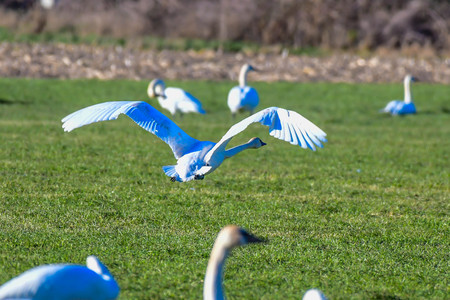 Trumpeter Swans migrate annually to the farm fields of the Skagit Valley, Washington near La Conner.