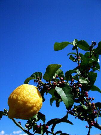 lemon tree: Lemon Tree  Foto de archivo