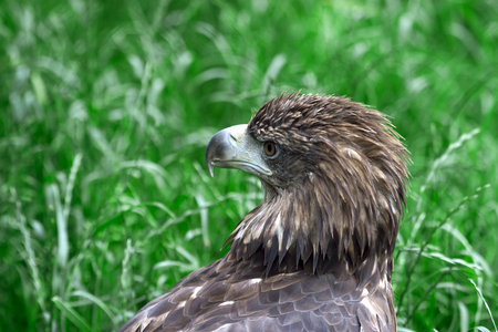 closeup of the head of a hawk on a green background with a clear view of the plumage, predatory look of a hawk