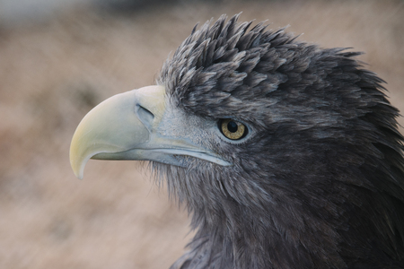 closeup of the head of a hawk on a blur background with a clear view of the plumage, predatory look of a hawk