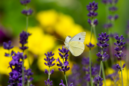 Large yellow butterfly on violet levander flower