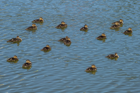 A lot of wild little ducks floating on the lake