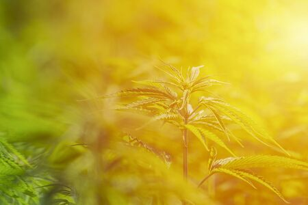 Cannabis sativa, marihuana leaves, photography of medical plant. Banco de Imagens