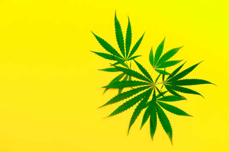 Hemp or cannabis leaf isolated on yellow background. Concept of herbal alternative medicine. Trendy flat lay minimalism banner