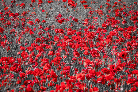 Beautiful red corn poppy flowers on black and white background. Remembrance day concept