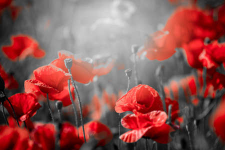 Beautiful red corn poppy flowers on black and white background. Remembrance day concept Stockfoto