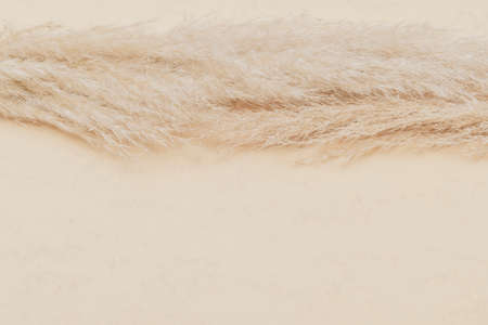 Dry pampas grass reed on beige color background. Zero waste, eco friendly concept. Vintage color filter