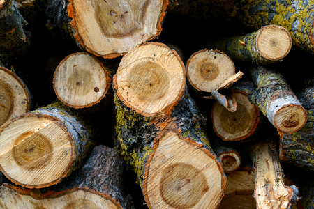 pine wood logs in forest Stock Photo