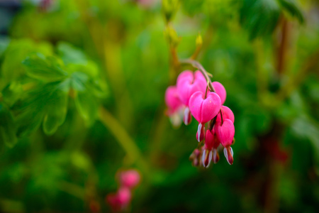 Ruby throated hummingbird ,archilochus colubris female approaching beautiful bleeding heart flowers in the Spring.