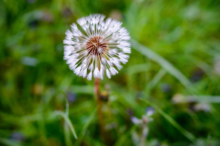 specular: Air dandelions on a green field. Spring background