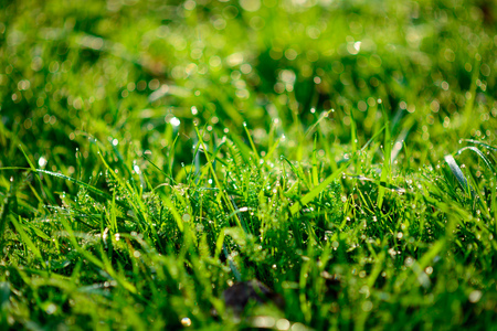Fresh morning dew on spring grass, natural background - close up with shallow DOF. Stock Photo