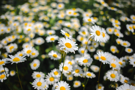 chamomile. Green grass and chamomiles in the nature