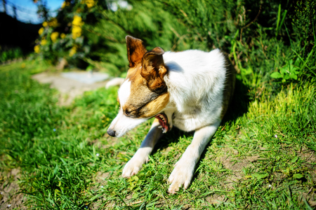 dog yawns lying on green grass in a delightful spring day