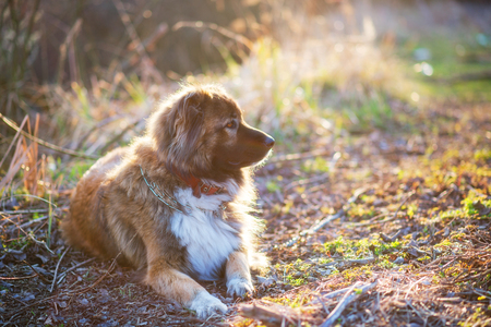 Caucasian shepherd dog outdoor exterior portrait a gorgeous spring day