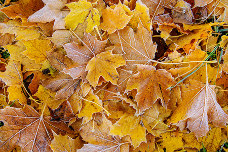 Brightly colored autumn leaves with dusting of frost. Stock Photo