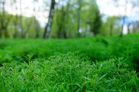 American common ragweed, Ambrosia artemisiifolia, causing allergy. Stock Photo