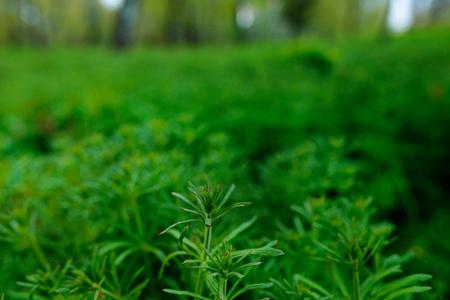 ajenjo: American common ragweed, Ambrosia artemisiifolia, causing allergy