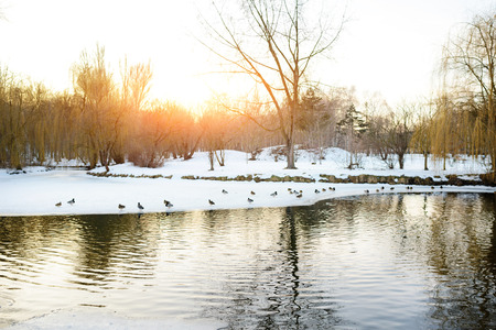 Ducks in the pond and snow at the park in winter.