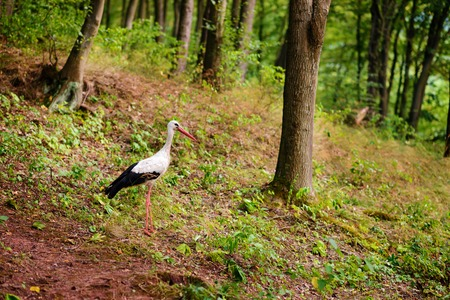 White stork walking on a green meadow, hunting for food. Stock Photo