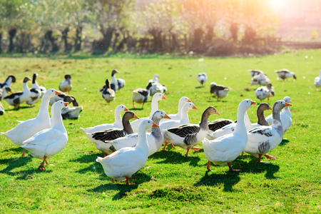 The herd of white adult geese grazing at the countryside on the farm on a green grove.